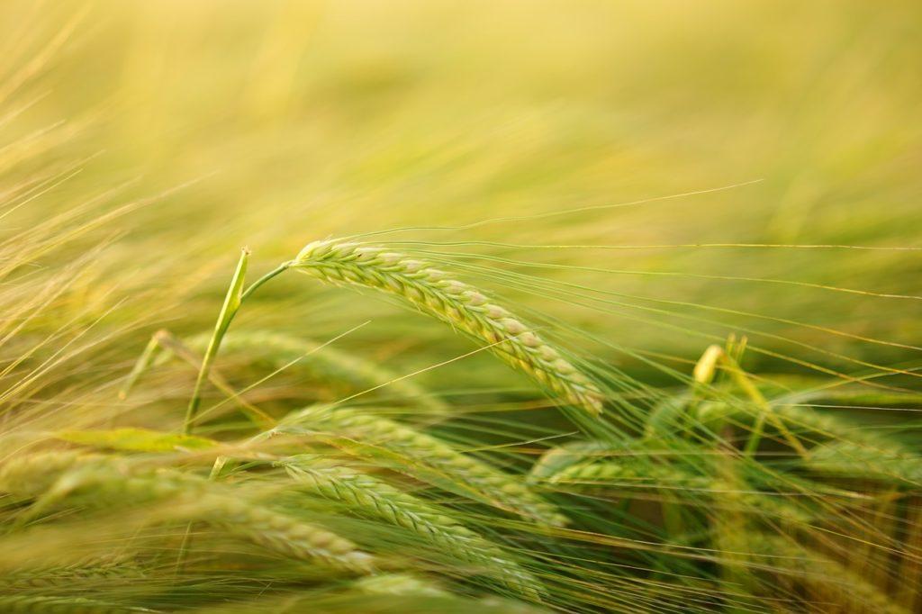 mlody zielony jęczmień na odchudzanie